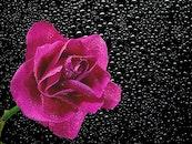 petals, plant, dew