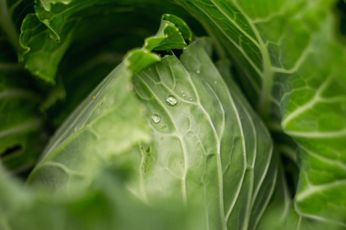doğa, lahana, yeşil