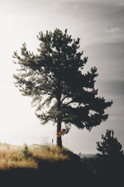 Imagine de stoc gratuită din arbore, árvore, atmosferă sumbră, conifere