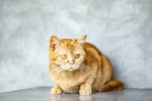 Close-Up Photo of Orange Tabby Cat