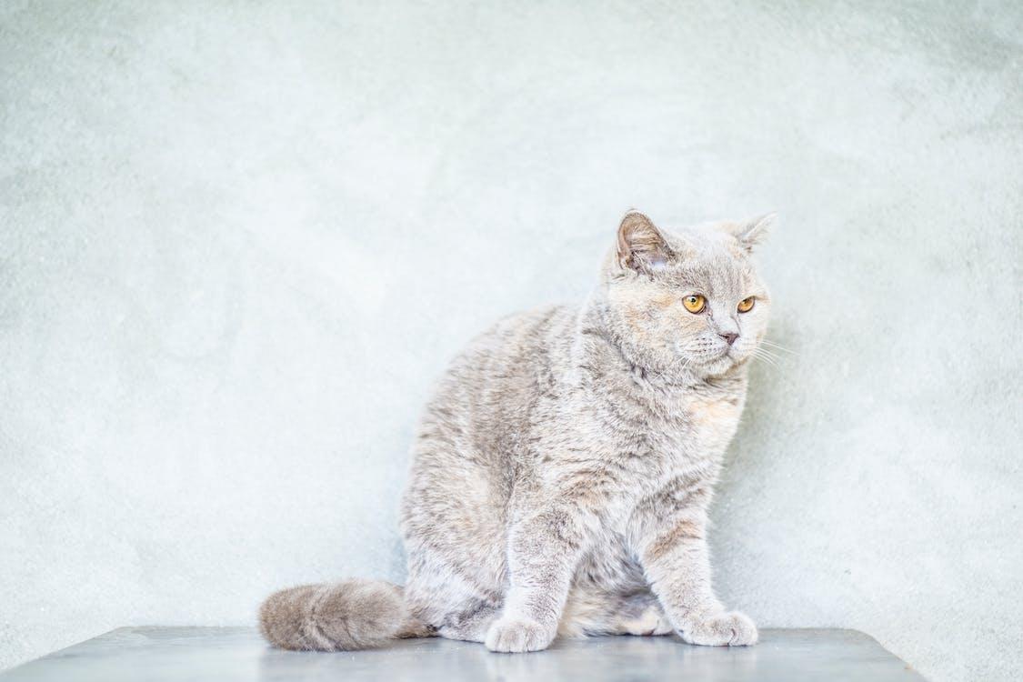 Photo of White Cat