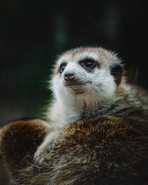 White and Brown Meerkat