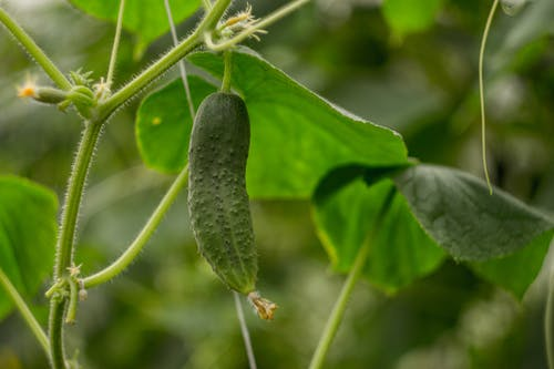 Безкоштовне стокове фото на тему «зелений, капуста, огірок, Природа»
