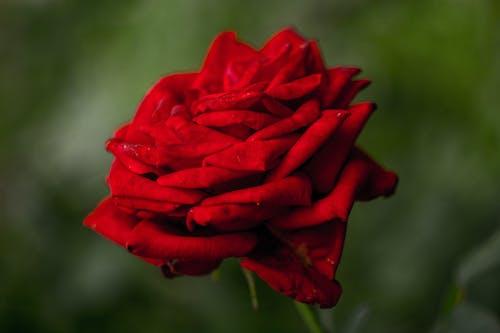 Безкоштовне стокове фото на тему «квіти, Природа, троянда, червоний»