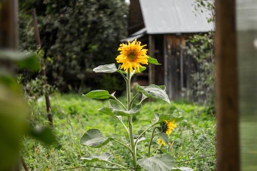 Fotobanka sbezplatnými fotkami na tému kapusta, kvety, príroda, slnečnica