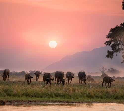Herd of Buffalo During Dawn