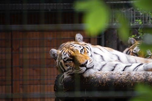 Základová fotografie zdarma na téma bengálský tygr, divoké zvíře, divoký, fotografování zvířat