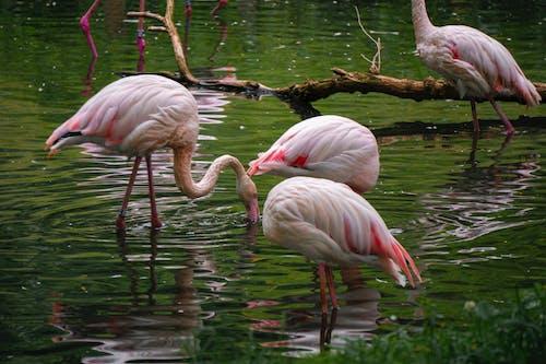 Free stock photo of bough, flamingo, flamingoes, nature