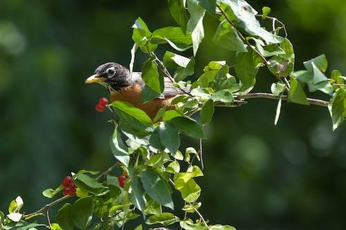 Foto stok gratis bertengger dalam foilage, burung, latar belakang hijau kabur, mengambil beri