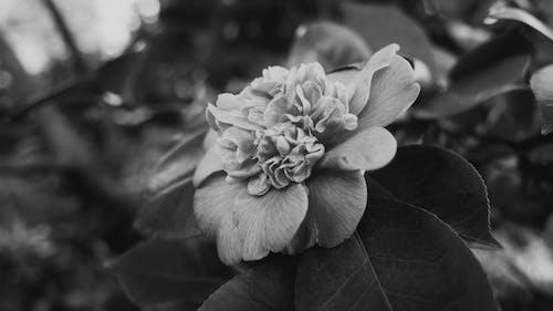 Darmowe zdjęcie z galerii z czarno-biały, kwiat, liść, mono