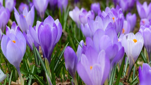 Foto profissional grátis de açafrão, broto, flora, flores