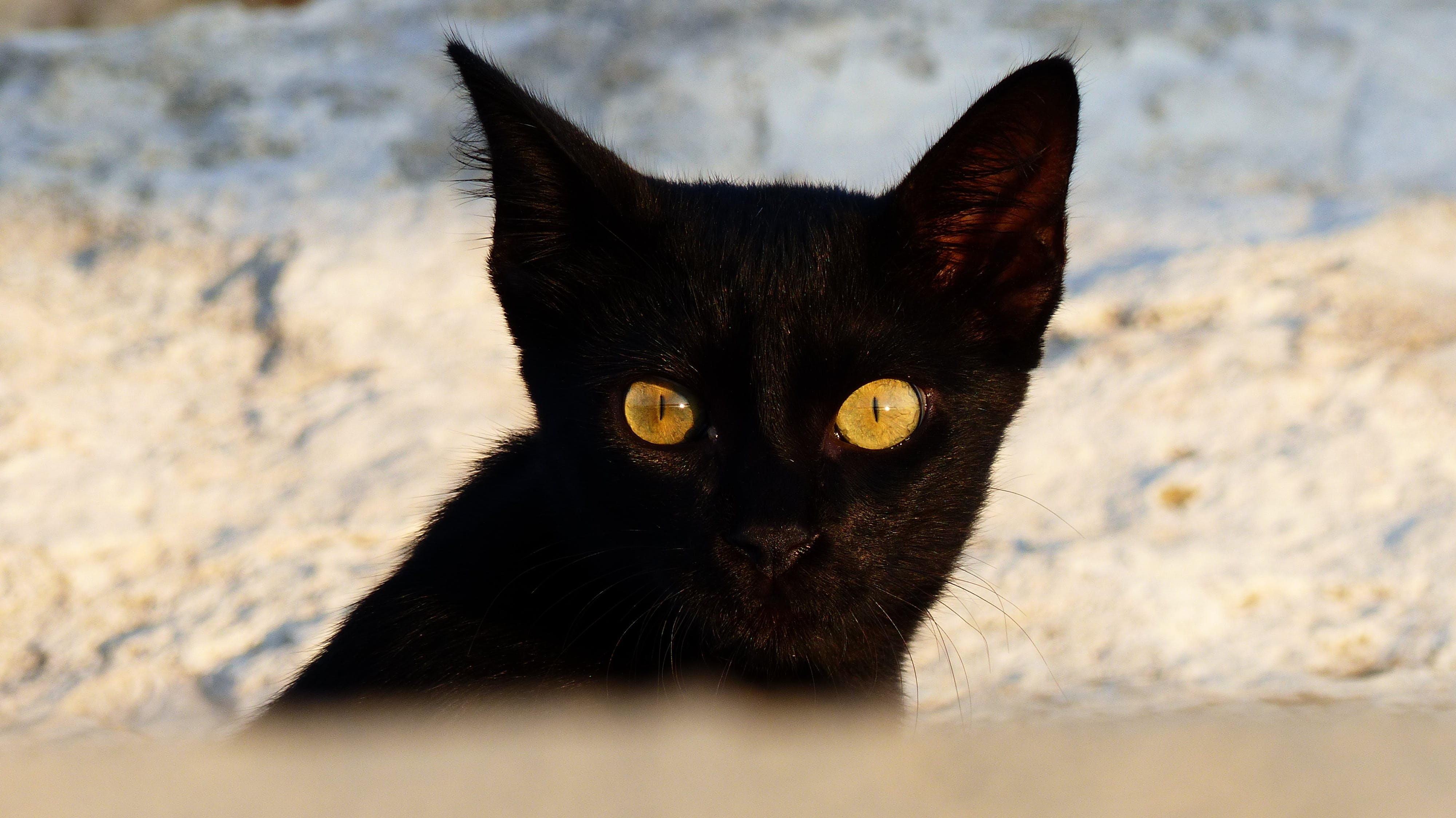 Free stock photo of animal, blackcat, brighteyes, cat