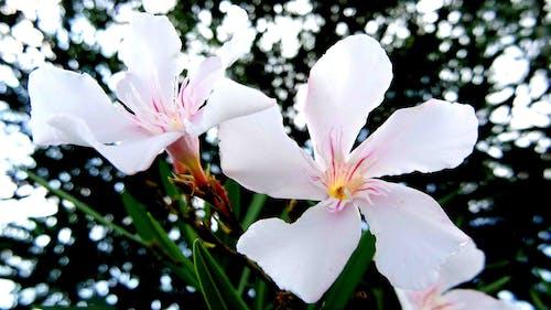 Gratis stockfoto met oleander