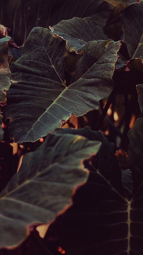 Gratis stockfoto met blad, decoratieve plant, donkergroen, donkergroene planten