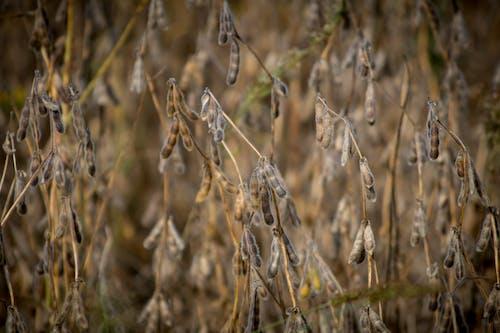คลังภาพถ่ายฟรี ของ agbiopix, การเกษตร, ถั่วเหลือง