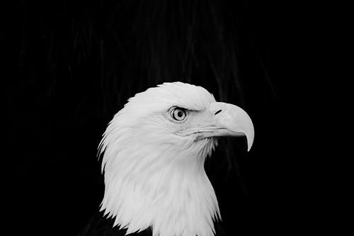 Darmowe zdjęcie z galerii z bielik amerykański, czarny, dziki, dziób