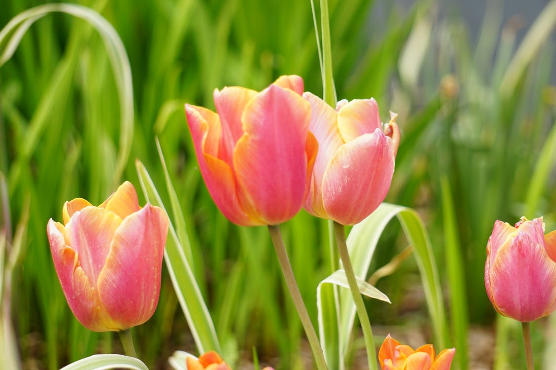 botanique, dzwonki, fleurs