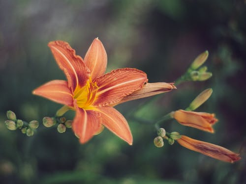 Red Tiger Lily Flower in Close-up Photography