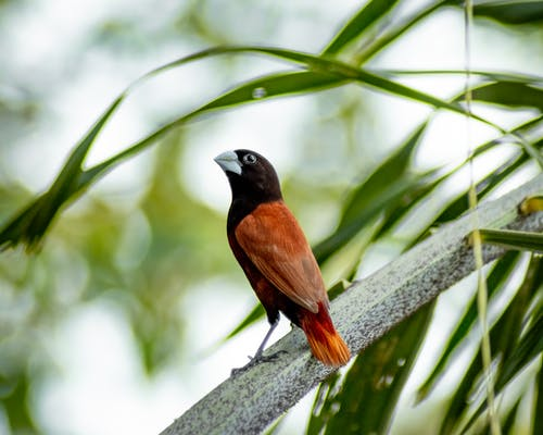 Foto d'estoc gratuïta de animals, au, chestnutmunia, iloilo