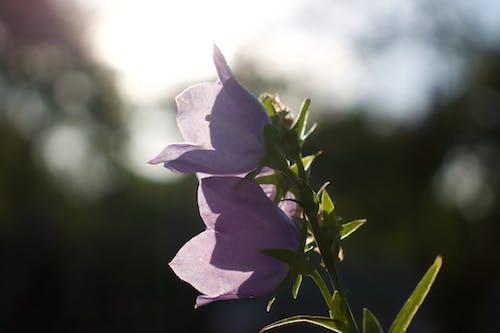 Δωρεάν στοκ φωτογραφιών με λουλούδι, μοβ λουλούδι
