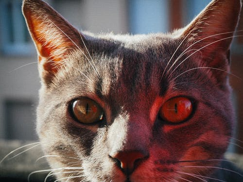 Free stock photo of cat, cat eye, close-up, street