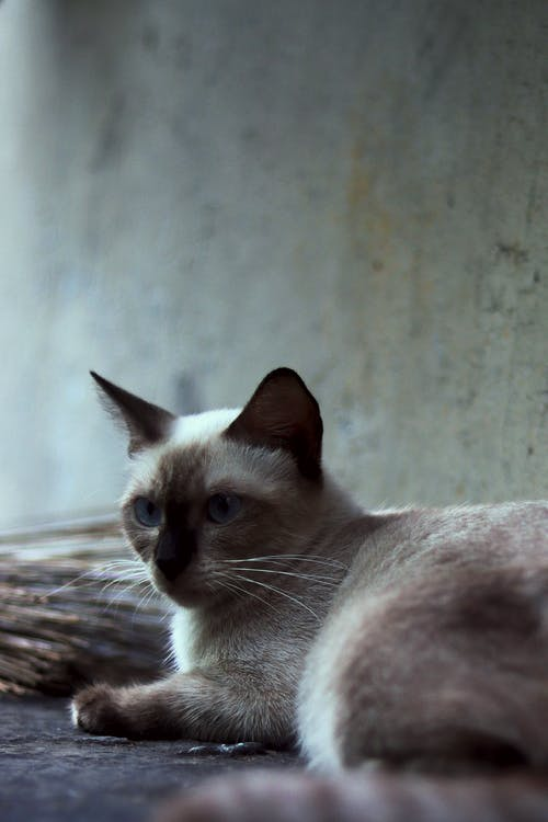 Gratis lagerfoto af dyreportræt, kæledyr, kat kæledyr, katte