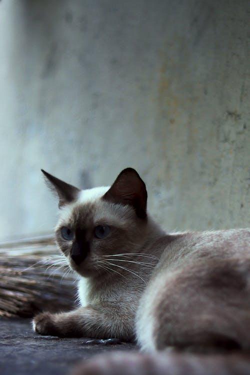 büyük kedi, Evcil Hayvan, hayvan portresi, kedi evcil hayvan içeren Ücretsiz stok fotoğraf