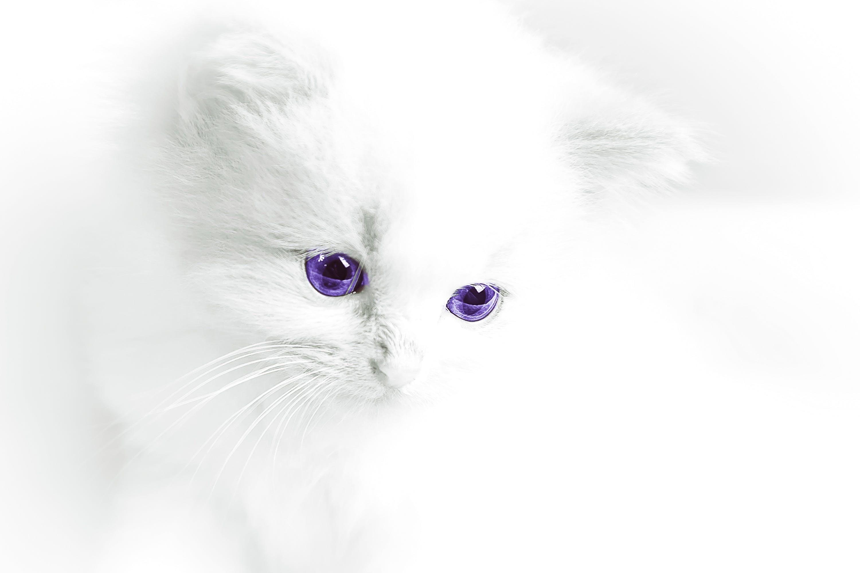 Free stock photo of animals, white, sweet, cat