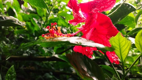 Free stock photo of after rain, beautiful flower, Hibiscus, leaves