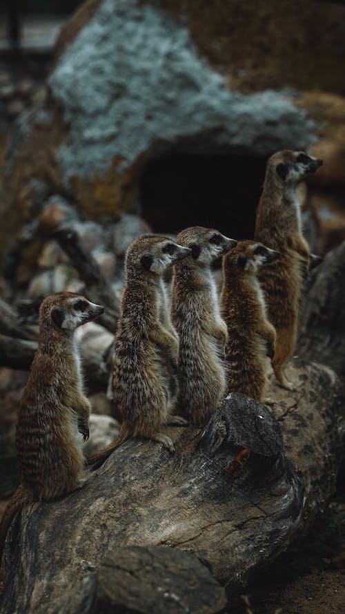 Group Of Brown Meerkats
