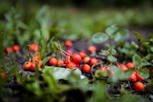 bokeh, çalı meyveleri, çim, doğa içeren Ücretsiz stok fotoğraf