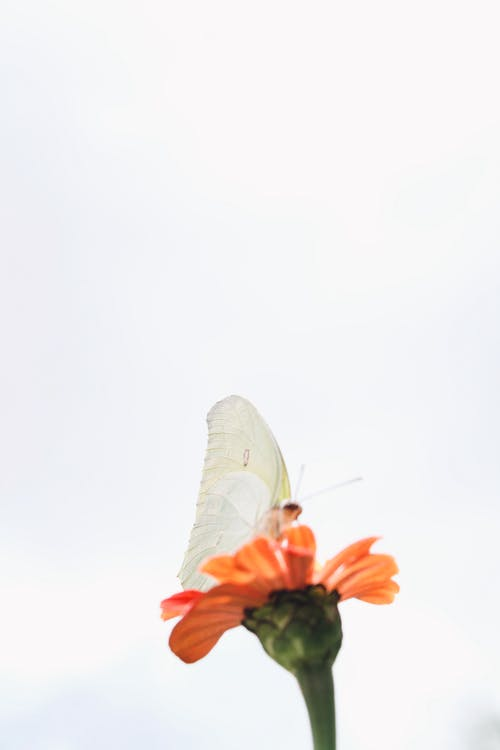 White Butterfly on Orange Flower
