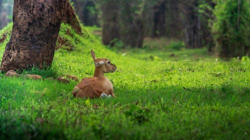 Бесплатное стоковое фото с зеленый фон, олень, фотографии животных