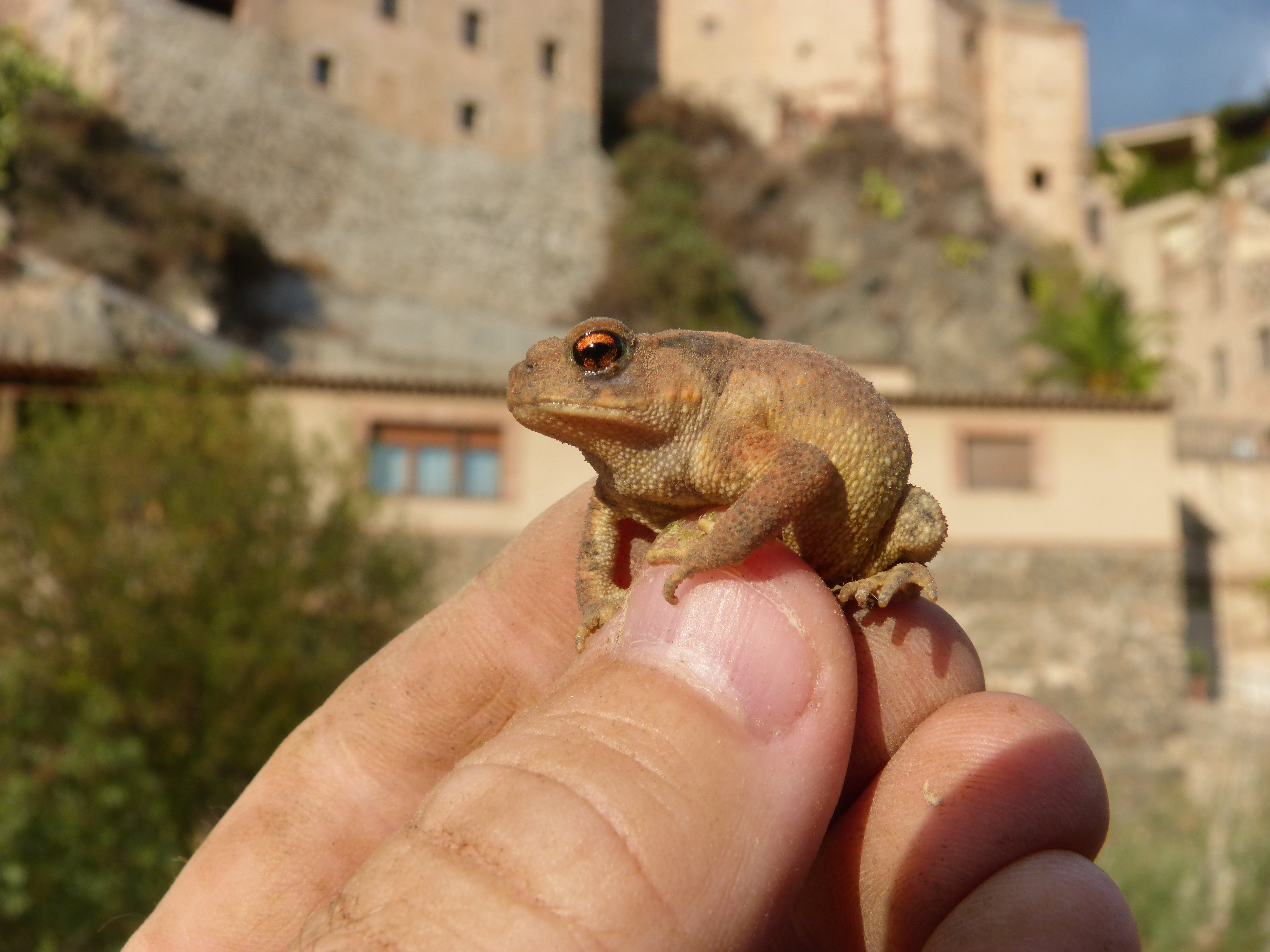 Free stock photo of hand, toad, breeding, rough skin