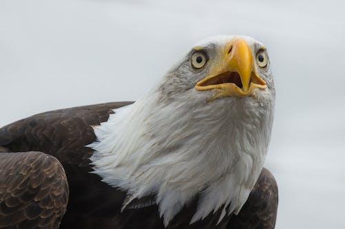 Free stock photo of bird, eagle, nature