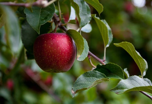 Red Apple Fruit in Close Up Photography