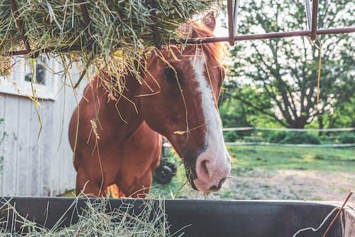 Ảnh lưu trữ miễn phí về bờm, chăn nuôi, con ngựa, con vật