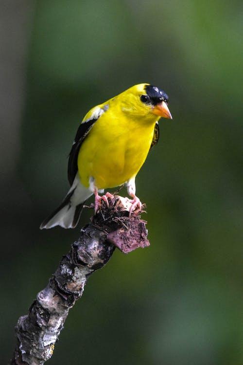 Foto stok gratis american goldfinch, burung, kuning dan hitam, latar belakang kabur hijau sedang