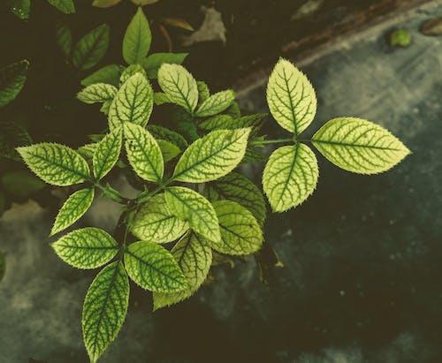 Gratis lagerfoto af grønt blad, HD-baggrund, rosenblad, sløret baggrund