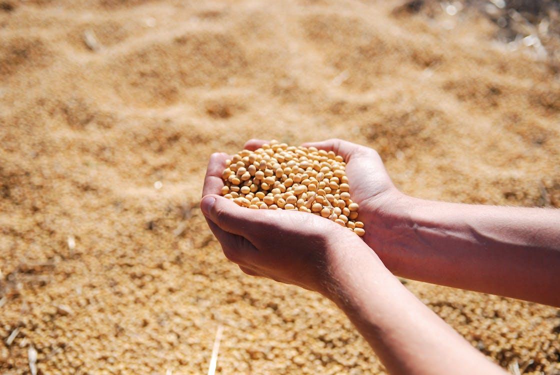 Fotos de stock gratuitas de agro, cosecha, haba de soja