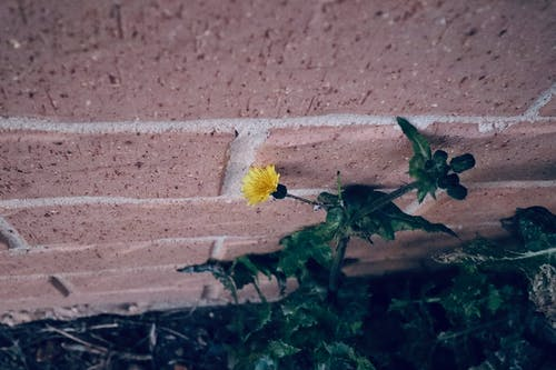 Free stock photo of bricks, brickwork, daisy, dandelion