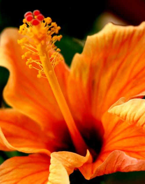 Ảnh lưu trữ miễn phí về cận cảnh, cánh hoa, Dâm bụt, đẹp
