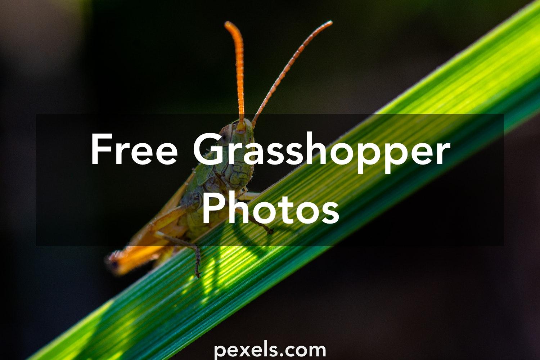 Amazing Grasshopper Photos · Pexels · Free Stock Photos