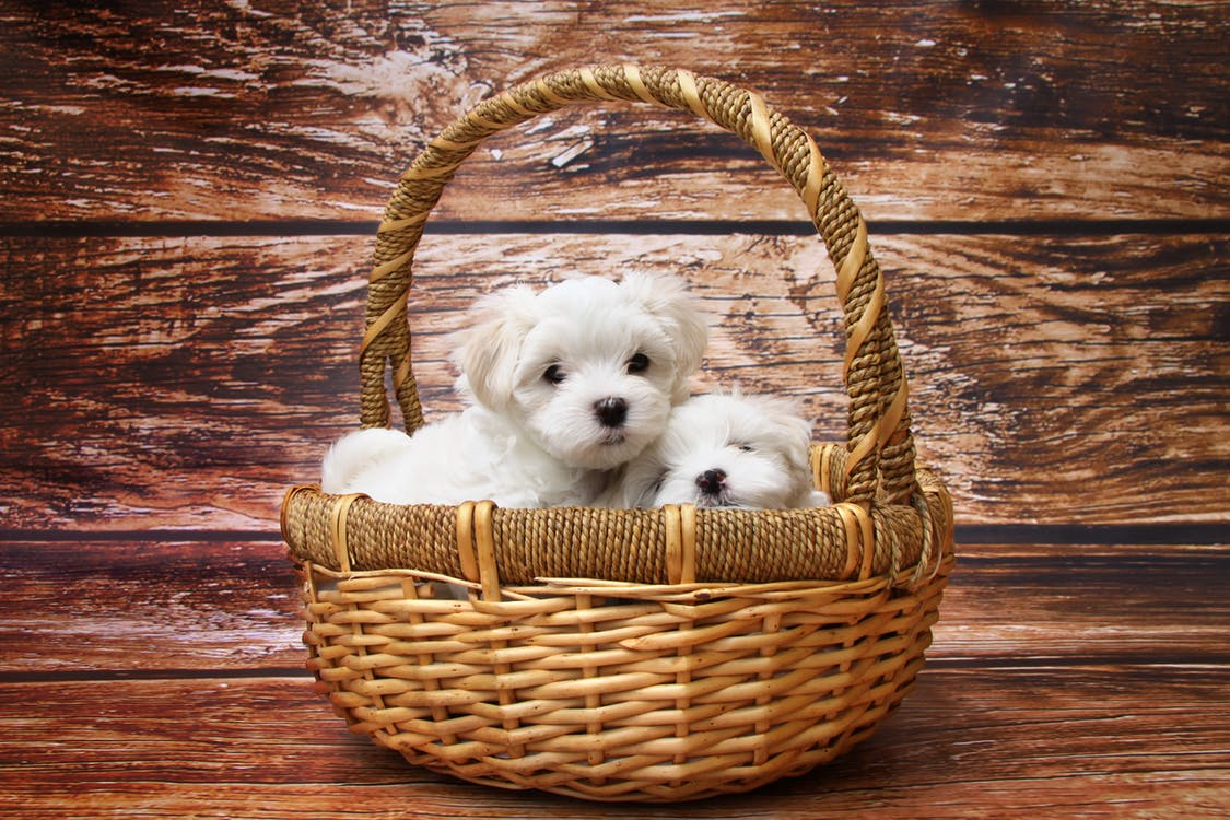 Two White Puppies on Brown Wicker Basket
