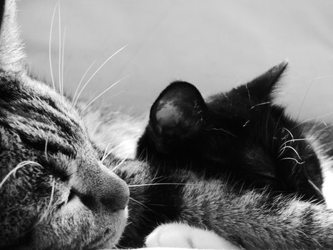 Free stock photo of black-and-white, cats, sleep