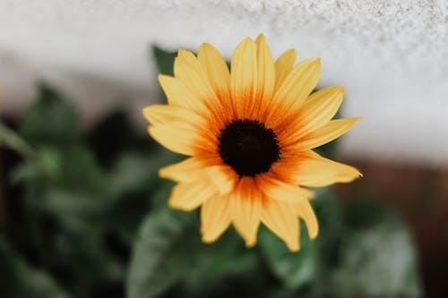 一, 向日葵, 夏天, 專注 的 免费素材照片