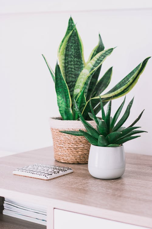 Snake Plant In A Pot