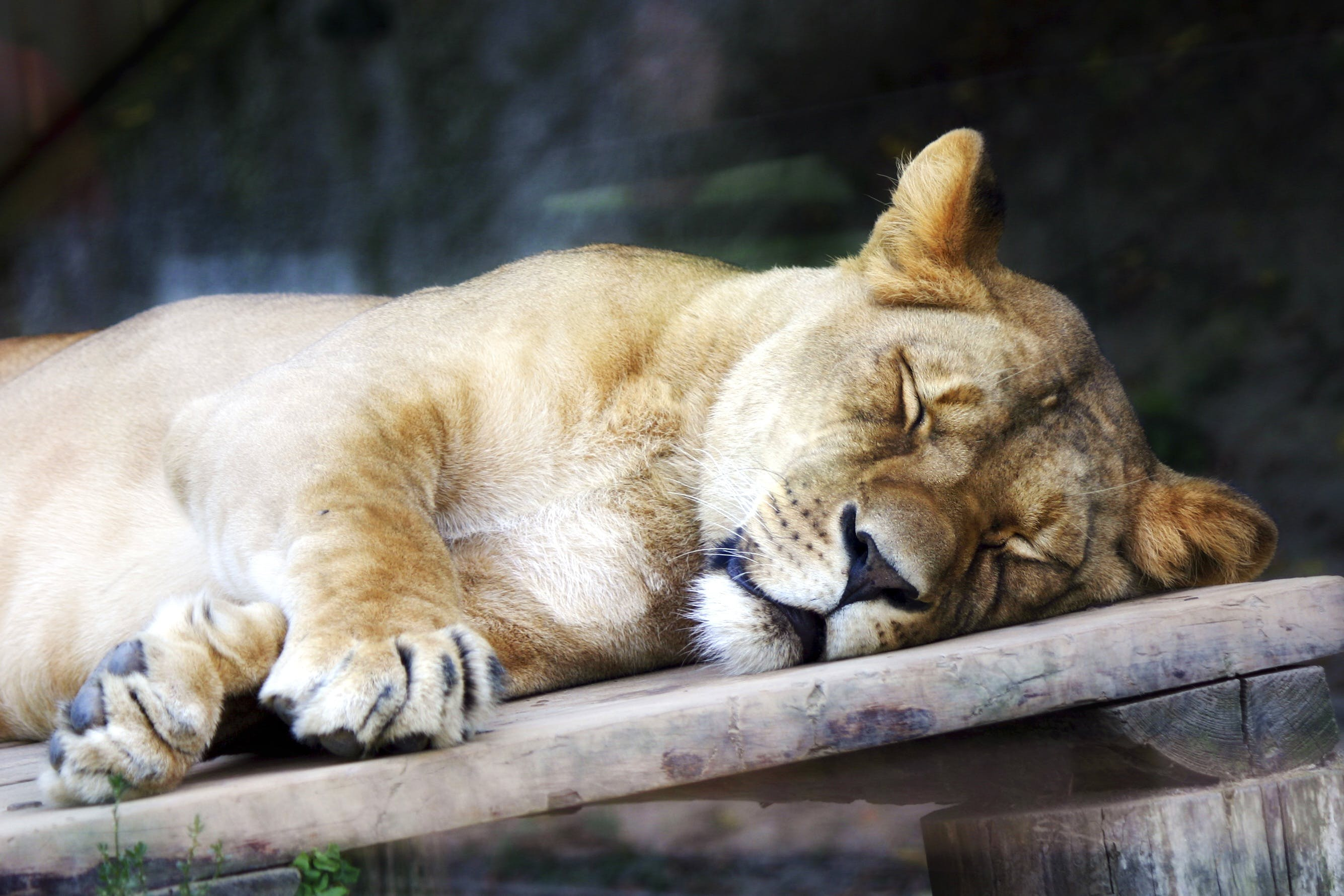 Free stock photo of animal, sleep, lioness, the head of the