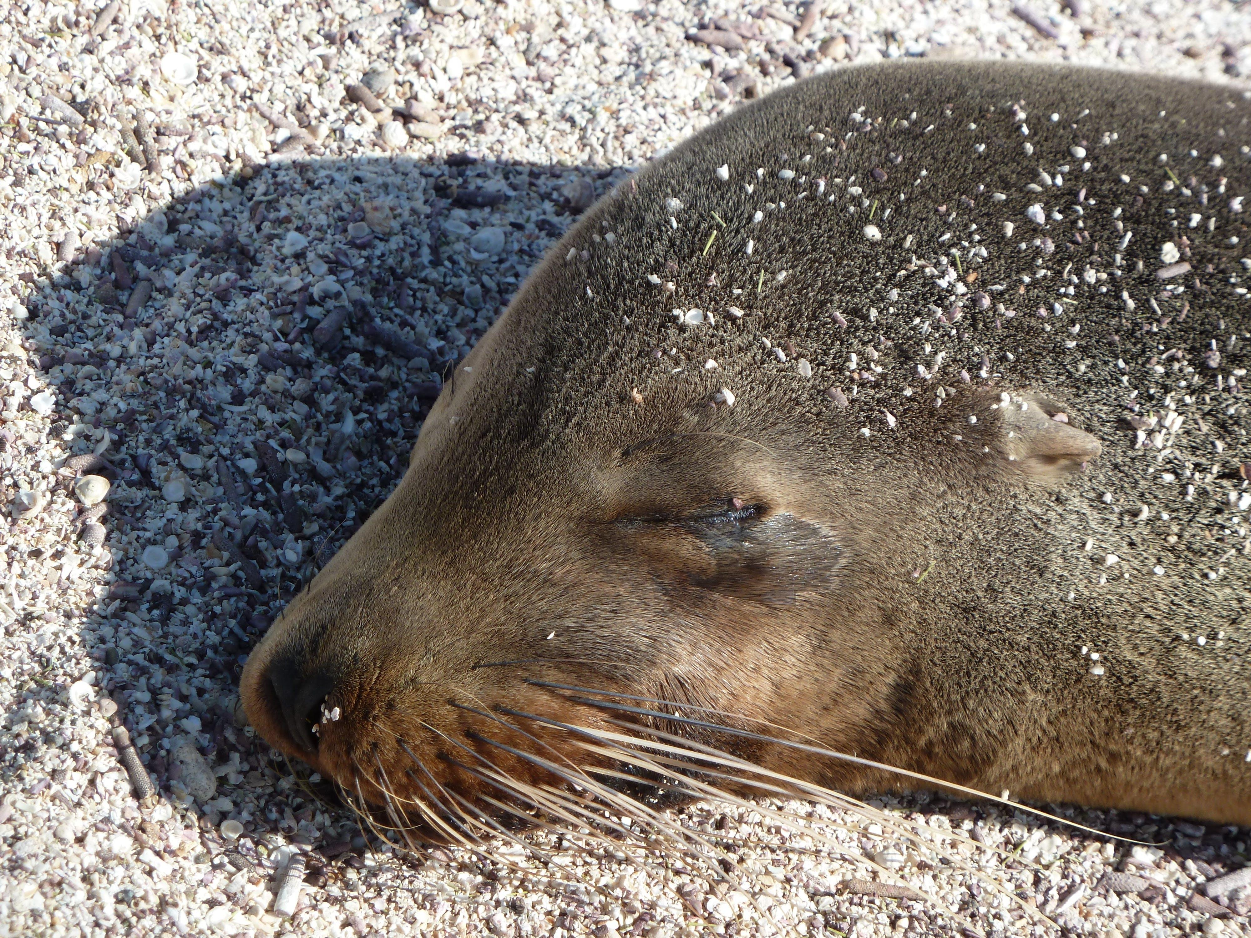 Free stock photo of head, sleeping, close, sea lion