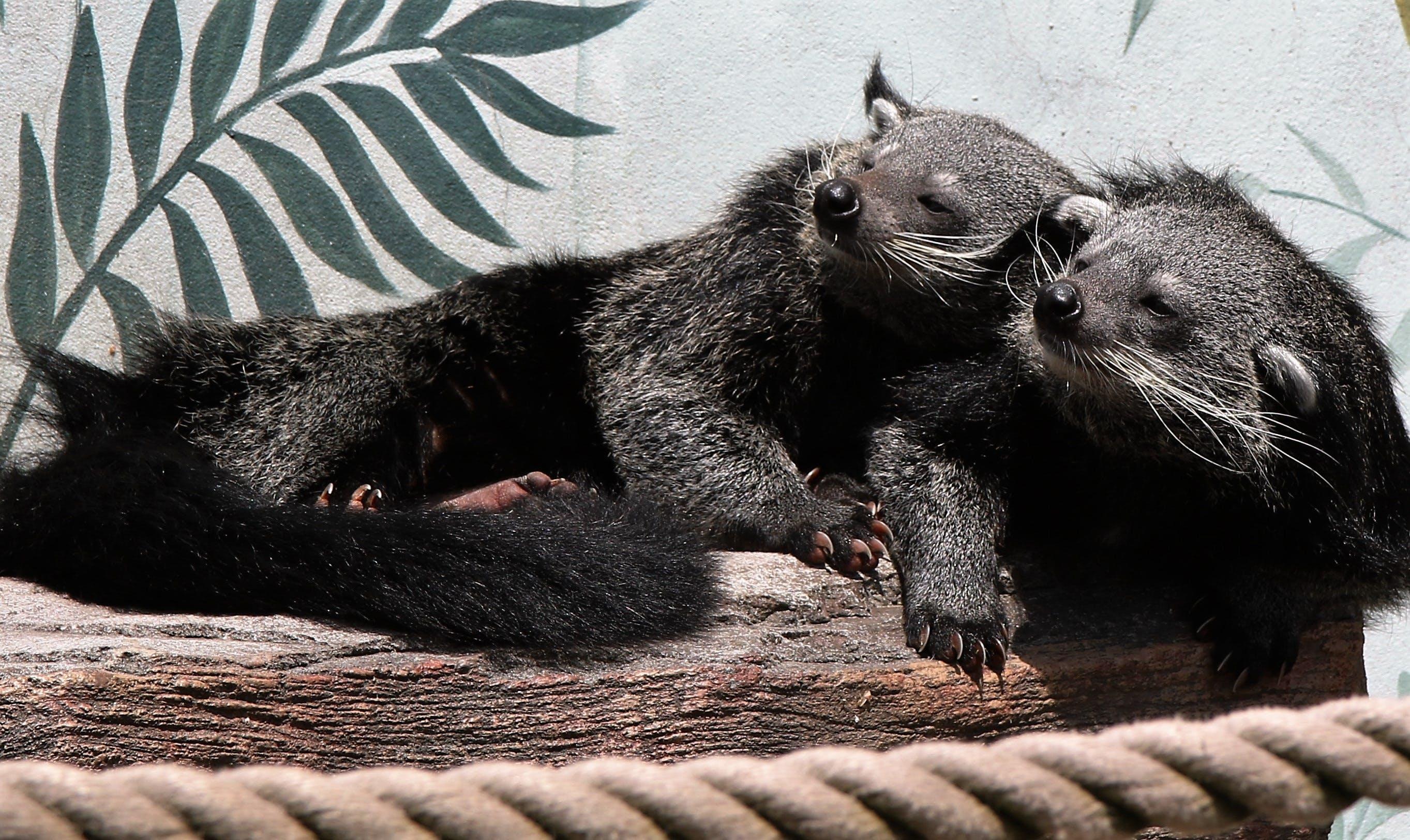 Free stock photo of animal, bear, bearcat, binturong